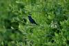 INDE - oiseau bleu .jpg